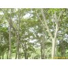 供应雪松,朴树,榉树,栾树,乌桕,香樟,石楠