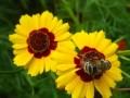 双色金鸡菊图片 (5)