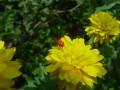 重瓣金光菊图片 (5)