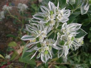 草本植物银边翠