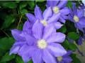 紫花铁线莲图片