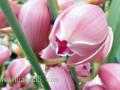 大花蕙兰的栽培繁殖方式有哪些?