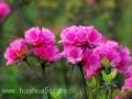 杜鹃花的栽培需要注意什么?