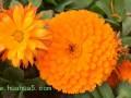金盏菊的主要价值介绍