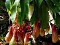 猪笼草的养护方法