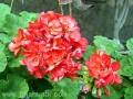 天竺葵不同季节的浇水