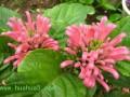 珊瑚花的繁殖方法及栽培方法介绍