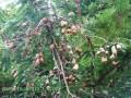 酸角树的生长环境