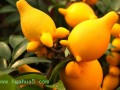黄金果的栽培方法