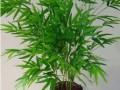 凤尾竹的养殖方法及图片欣赏